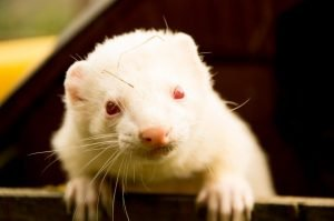 Common Ferret Health Problems