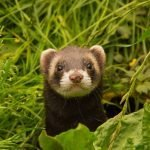 Are Ferrets Good Pets