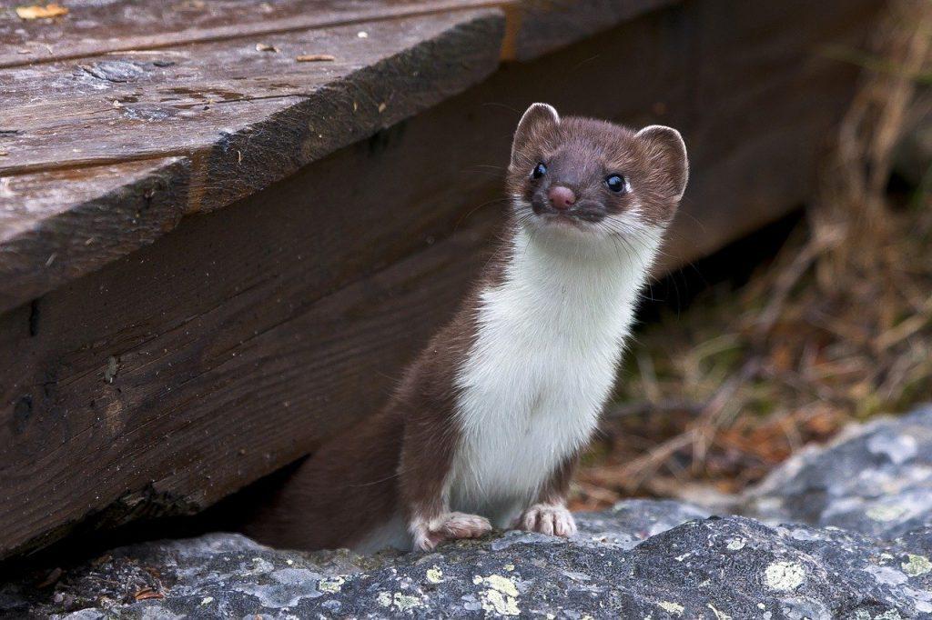 Do Ferrets Know Their Name