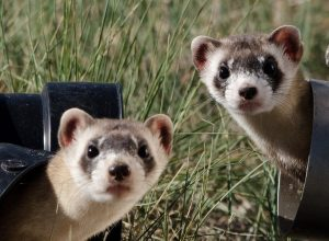 Do Male and Female Ferrets Get Along