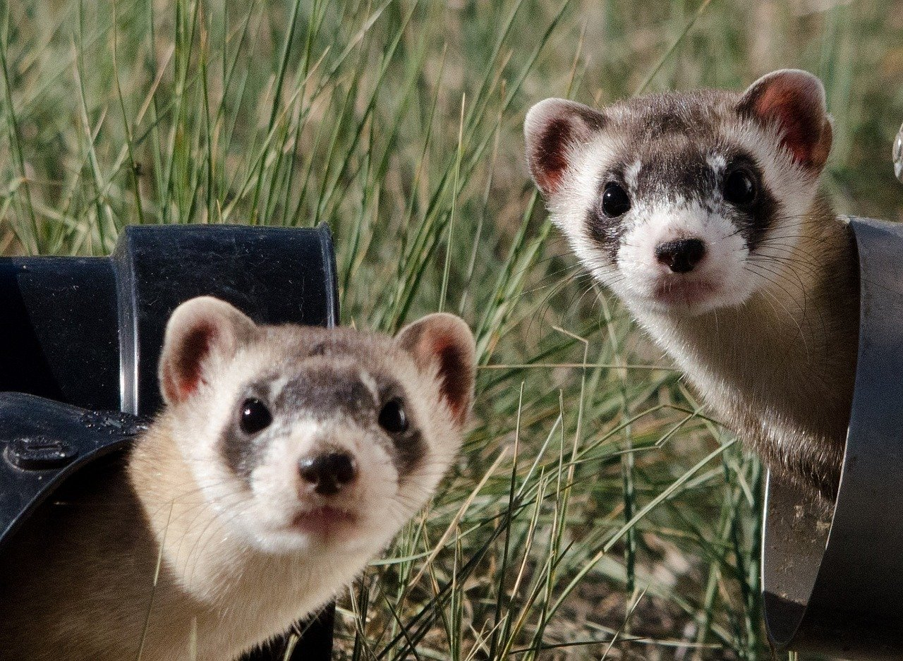 Ferrets fighting for dominance