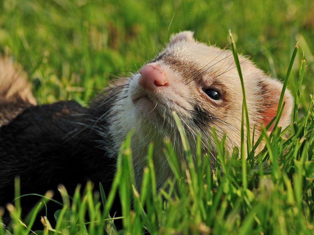 Can Ferrets Get Heartworms