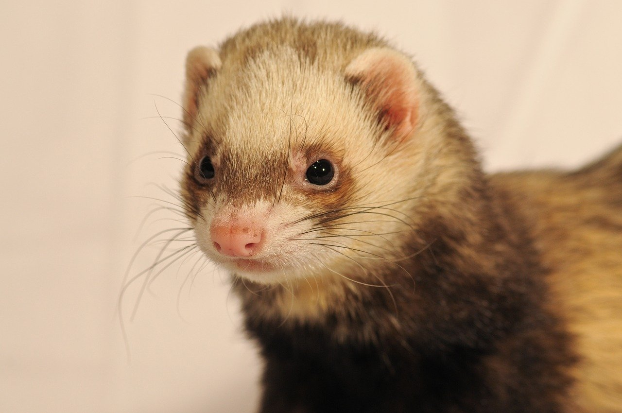 Is Ferret Poop Toxic for Dogs