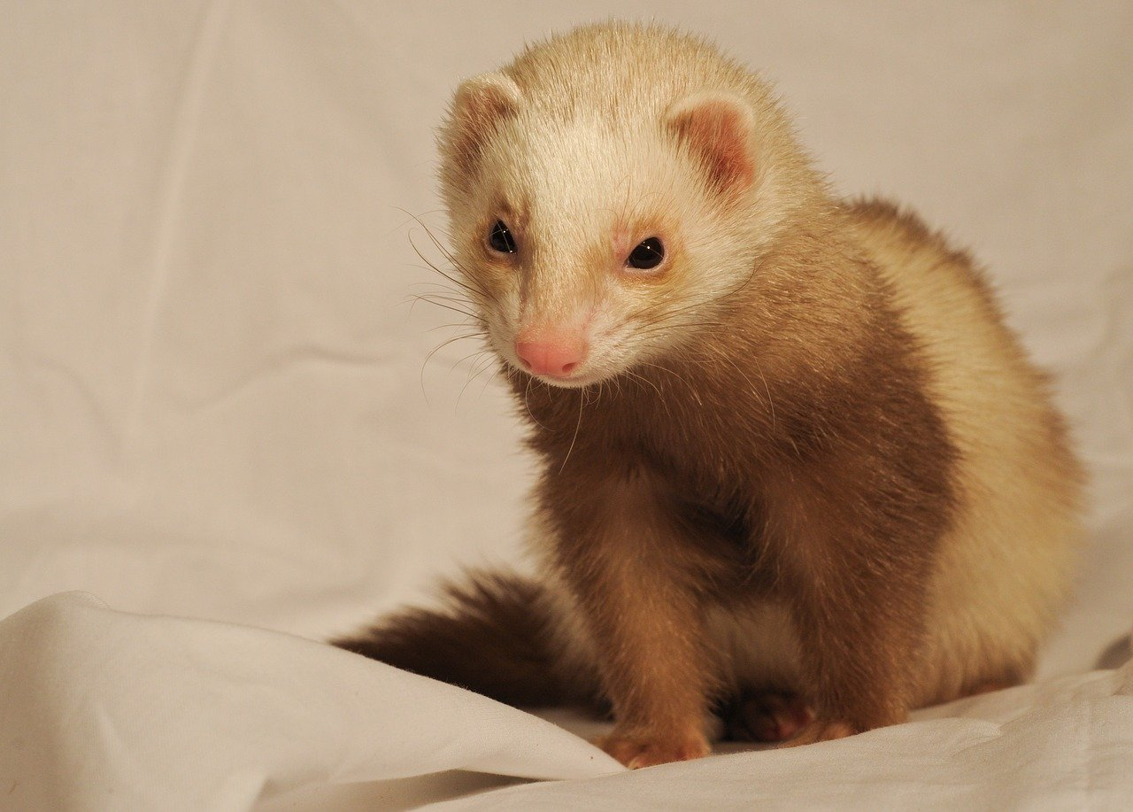 Do Ferrets Carry Rabies