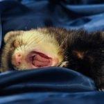 Do Ferrets Like To Cuddle