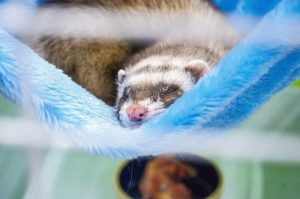 What does it mean when a ferret licks you