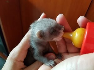 How to Train a Ferret Not to Bite