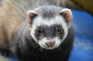Why Do Ferrets Steal?