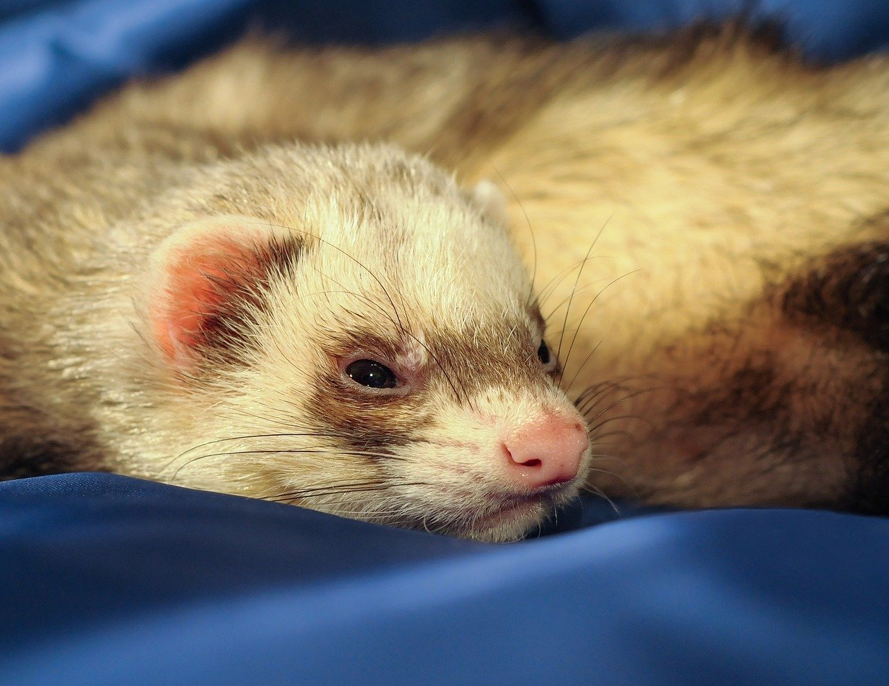 Are Ferrets Sensitive to Cold