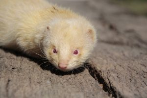 Signs of a Sick Ferret