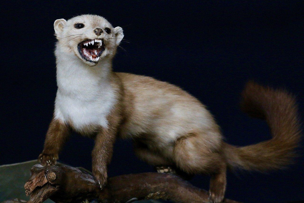 Ferret Hissing