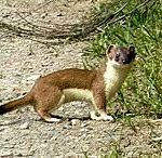 What Do Stoats Eat