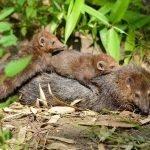 Where Do Weasels Live