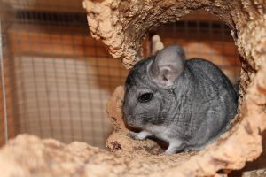 Are Chinchillas Friendly