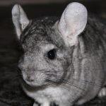 Are chinchillas noisy?