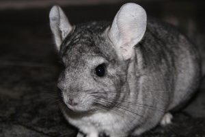 are chinchillas nocturnal
