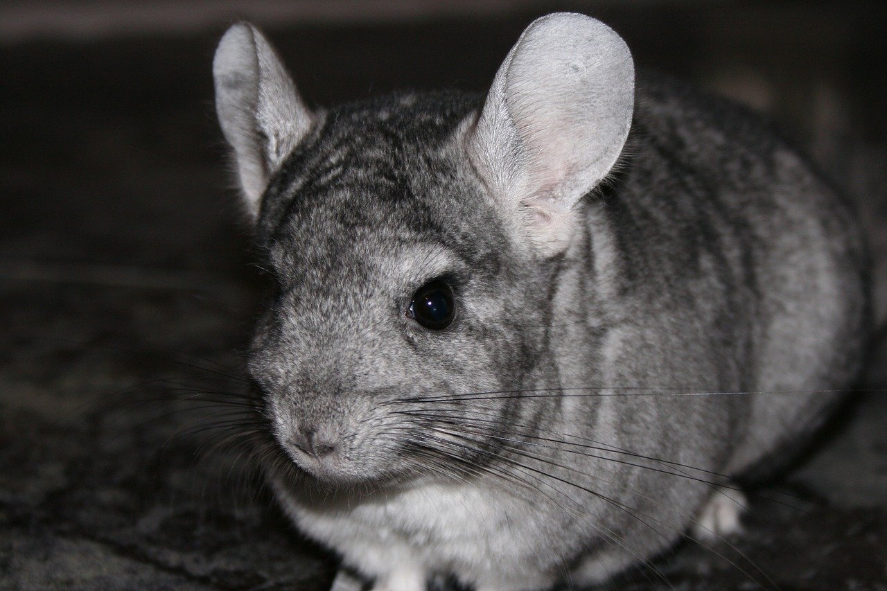 Are chinchillas noisy?