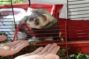 New ferret owner guide