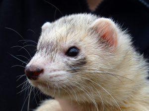 Lethargic Ferret