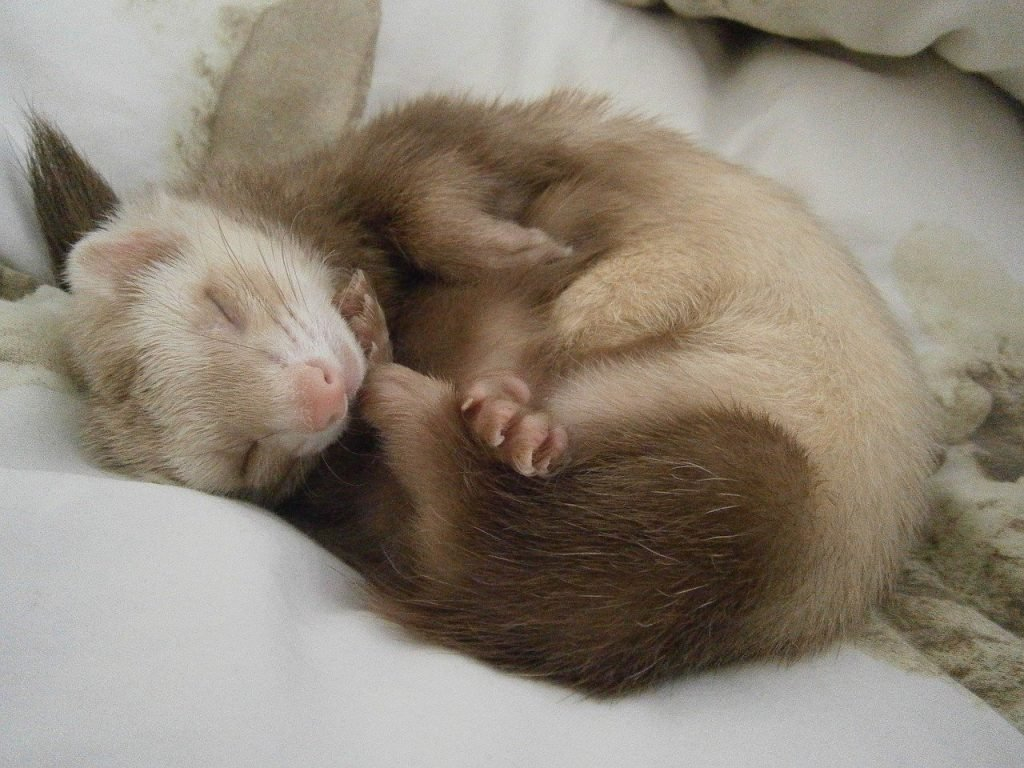How to Pet a Ferret