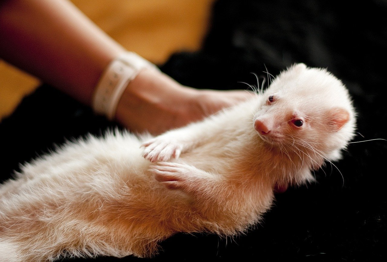 How to Stop a Ferret from Smelling