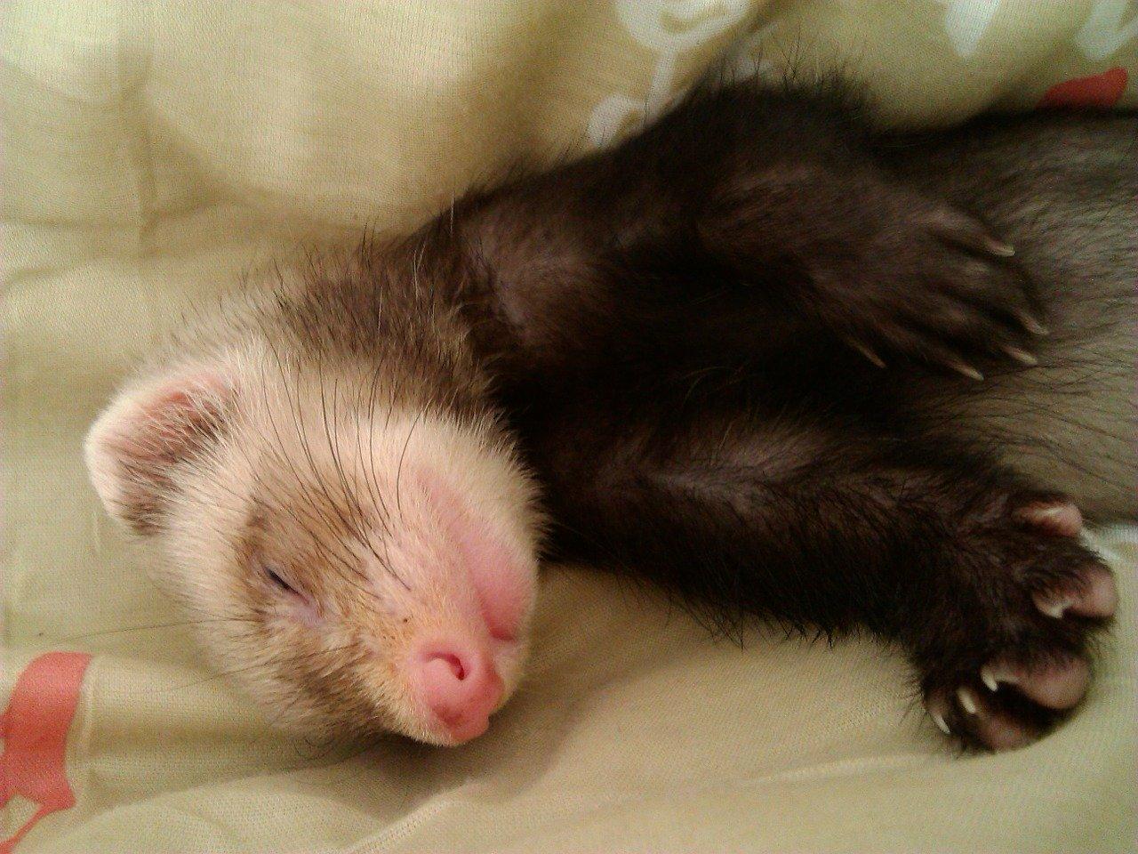 How Do You Calm Down a Hyper Ferret