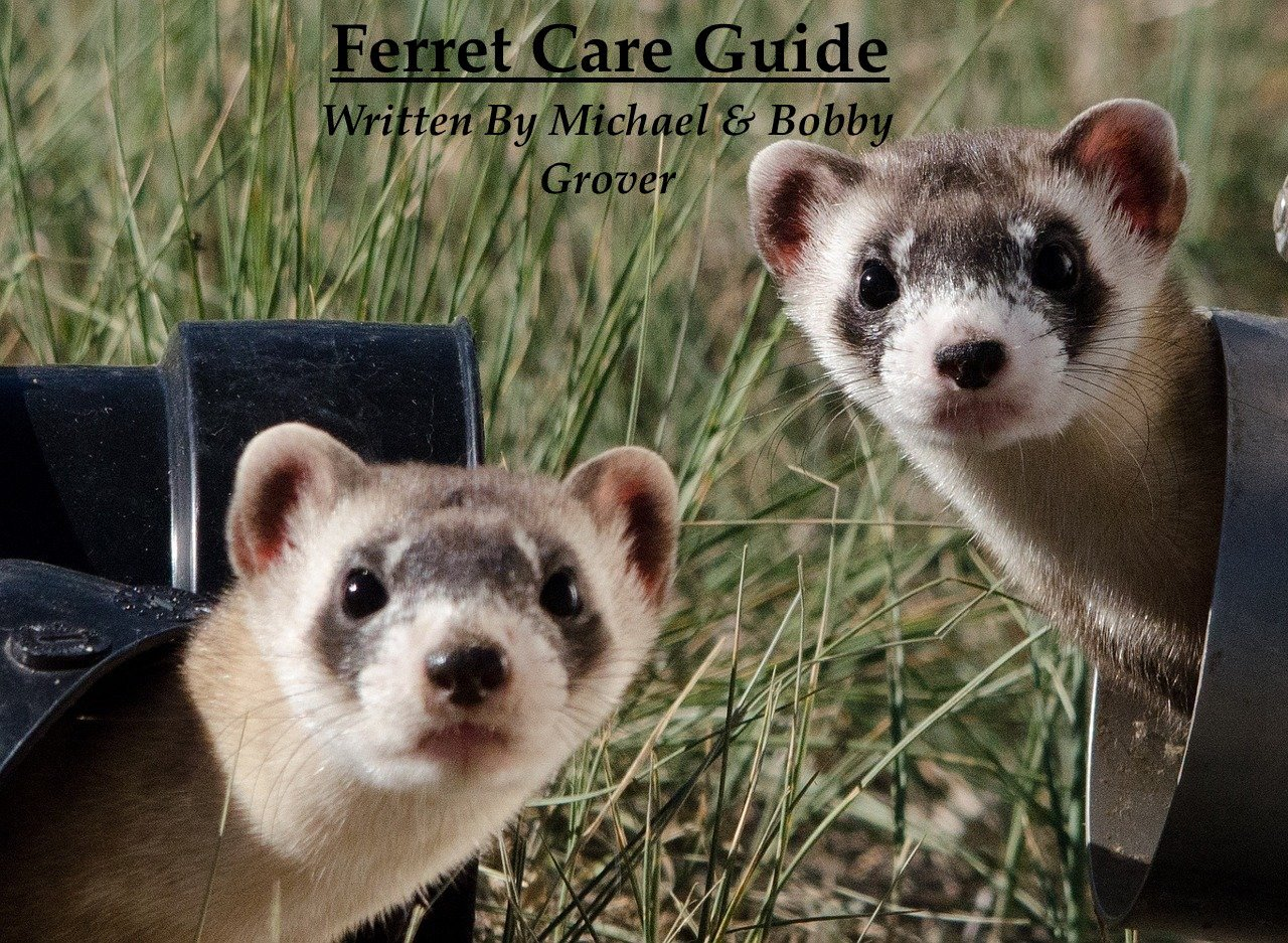 ferret care for beginners