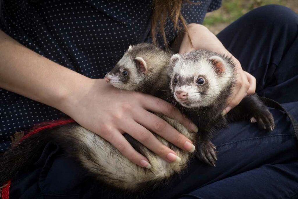 a pair of ferrets
