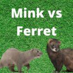 Mink vs Ferret