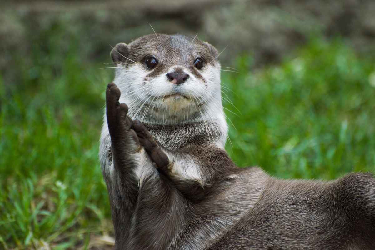 are ferrets related to otters