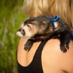 ferret itchy