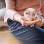 ferret feeding