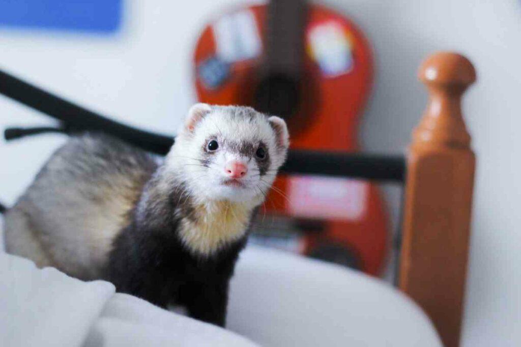 ferrets indoors