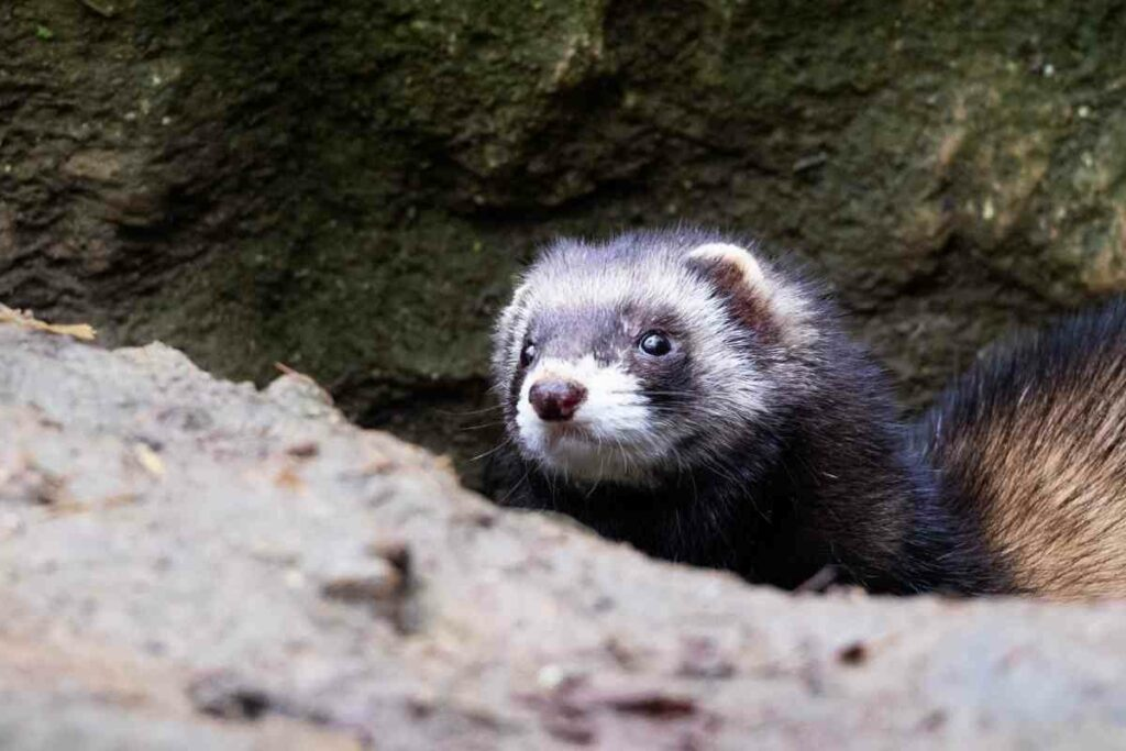 ferret at night